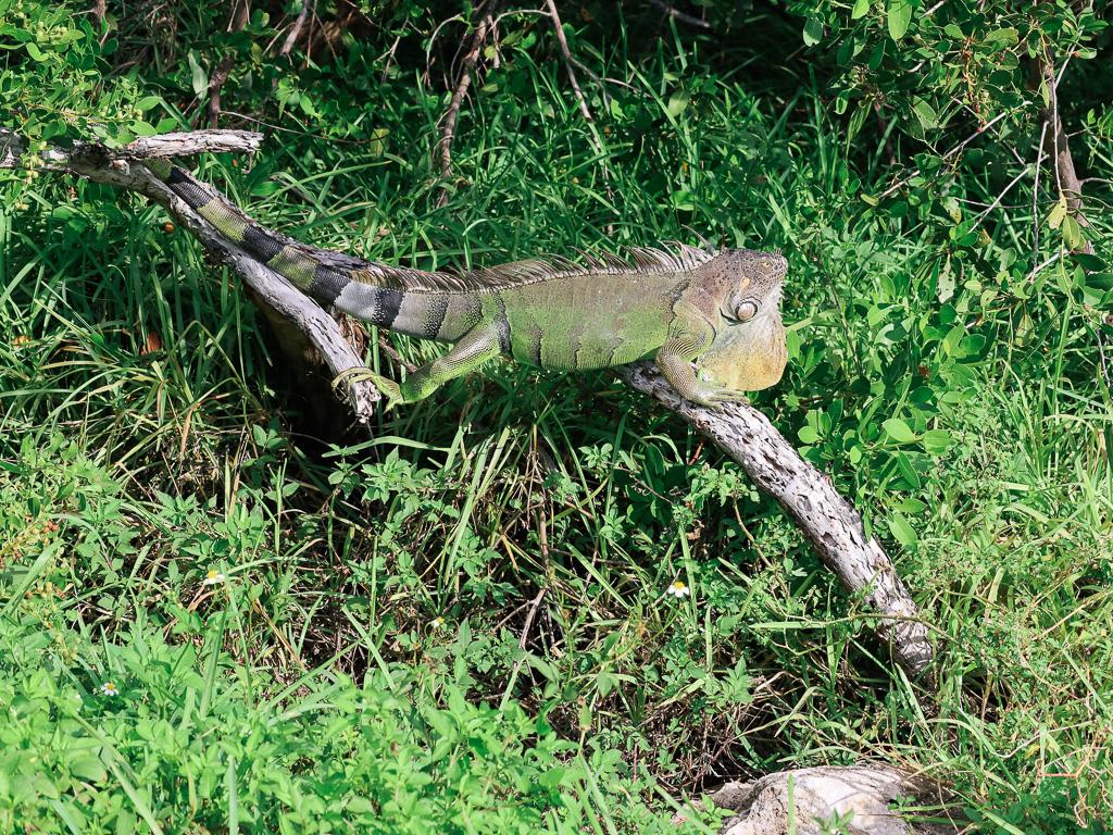 Wildlife in Florida - Leguaan